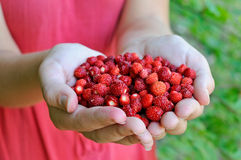Fresh Forest Strawberries In The Girl Hands Royalty Free Stock Photos