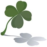 Fresh four leaf clover. With reflection Stock Images