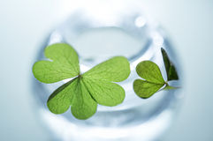 Fresh Four Leaf Clovers in Glass Jar. Means lucky Stock Photography