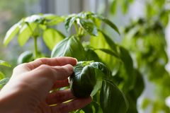 Fresh fragrant basil growing in a container on the sunny windowsill royalty free stock images