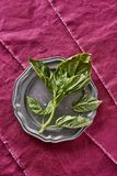 Fresh Fragrant Basil Herb Picked from my Organic Herb Garden Oci Stock Photo