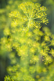 Fresh fragrant fennel Royalty Free Stock Photos