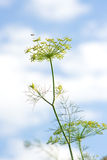 Fresh fragrant fennel Royalty Free Stock Photography