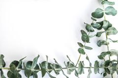 Border of fragrant eucalyptus branches. Fresh and fragrant green stems of eucalyptus border a white background with copy space royalty free stock photo