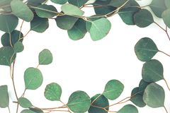 Border of fragrant eucalyptus branches. Fresh and fragrant green stems and leaves of eucalyptus border a white background with copy space royalty free stock image