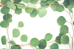 Border of fragrant eucalyptus branches. Fresh and fragrant green stems and leaves of eucalyptus border a white background with copy space stock image