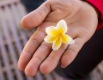 Fresh Frangipani flower on hand holding Stock Image