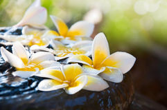 Fresh Frangipani flowers floating on the jar Royalty Free Stock Images