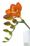 Fresh freesia Stock Photo