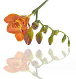 Fresh freesia Royalty Free Stock Image