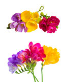 Fresh freesia flowers. Set of yelow, pink and violet pink freesia flowers with buds twig isolated on white background Royalty Free Stock Photos