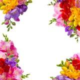 Fresh freesia flowers Royalty Free Stock Photo