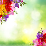 Fresh freesia flowers. Fresh yellow, red, pink and blue freesia flowers frame over green background Stock Photo