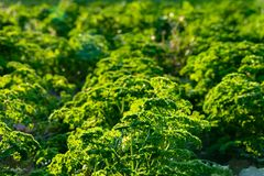Fresh french parsley field crops stock images