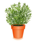 Fresh French Tarragon in a Flower Pot. French Tarragon in a clay flowerpot, aromatic perennial herb with lance-shaped anise flavored leaves used to flavor Royalty Free Stock Photo