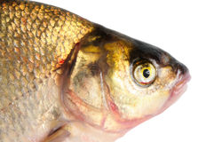 Fresh freshwater fish Bream. Stock Images