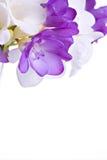 Fresh fresia flowers Royalty Free Stock Photo
