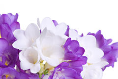 Fresh fresia flowers Stock Image
