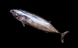 Fresh Frigate tuna fish. Stock Photography