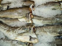 Fresh-frozen carcasses of cod fish. Frozen carcasses of cod fish on the counter in the store royalty free stock photo