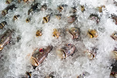 Fresh frozen fish on ice Stock Image