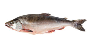 Fresh-frozen fish pink salmon. Isolated on white background Stock Photography