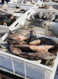 Fresh frozen fish in plastic boxes on the market Royalty Free Stock Photography