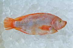Fresh Frozen Fish For sale. Fresh red nile tilapia fish (Oreochromis niloticus) on ice Stock Images