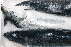 Fresh frozen salmon Royalty Free Stock Images