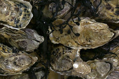 Fresh frozen seafood. Delicious oysters Stock Images