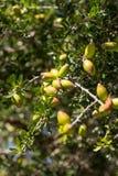 Fresh fruit of Argan tree on the branch Royalty Free Stock Photos