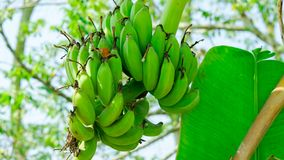 only fresh fruit banana on banana tree stock photos