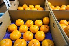 The fresh fruit in the box during harvest oranges season stock photo