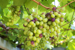 Fresh fruit grapes with green leaves on the vine Royalty Free Stock Images