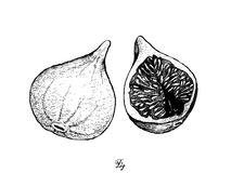 Hand Drawn of Fresh Figs in White Background. Fresh Fruit, Illustration of Hand Drawn Sketch Delicious Fresh Figs or Ficus Carica. One of The Most Popular Fruits Royalty Free Stock Image