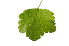 Fresh fruit leaf, isolated on a white background. Beautiful green currant leaf. Bright green leaf of red or black currant. Stock Photo