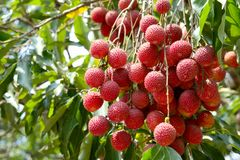 A fresh fruit Lychee and leaf on the Lychee tree. A fresh fruit Lychee and leaf on the Lychee tree in the harvest season royalty free stock photos