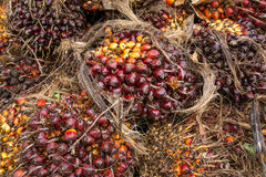 Fresh fruit of the oil palm on the tree Royalty Free Stock Photo
