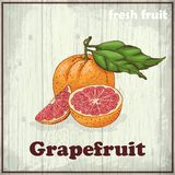 Fresh fruit sketch background. Vintage hand drawing illustration of grapefruit Stock Image
