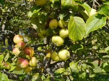 Fresh fruit in a tree Royalty Free Stock Photos