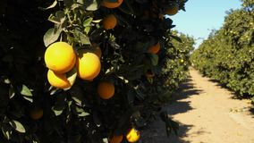 Fresh fruit tree branch ripe food orange grove. A fruit tree moves back and forth in the wind inside a California orange orchard stock footage