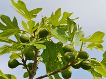 Fresh fruit in a tree Stock Photography