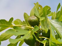 Fresh fruit in a tree Royalty Free Stock Photo