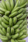 Organic fresh bananas on the bunch. Fresh fruit and vegetables, source of health Stock Images