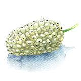 Fresh fruit white mulberry isolated, watercolor illustration Royalty Free Stock Photo