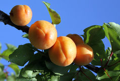 Fresh fruits apricot Stock Images