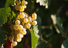 Fresh fruits of grapes Royalty Free Stock Photography