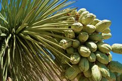 Fresh fruits hanging on joshua tree Royalty Free Stock Photos