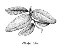 Hand Drawn of Fresh Atherolepis Pierrei Fruits Royalty Free Stock Image