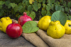 Fruits. Fresh fruits, pomegranate and quince from garden Stock Images
